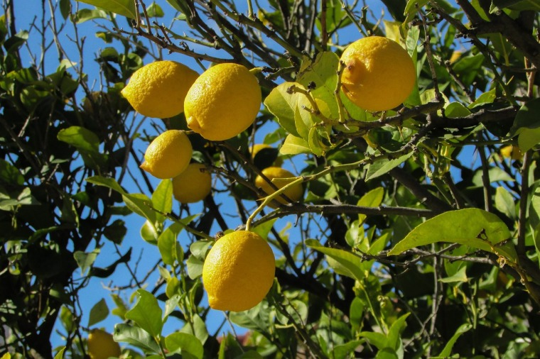 lemon-tree-1878505_1280